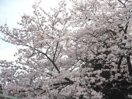 20080329sakura01.JPG